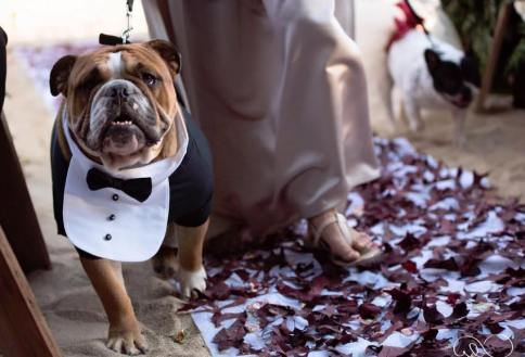 McGruff the English Bull Dog and Polly the French Bull Dog as the ring bearers at a Norco Trailers family member's wedding